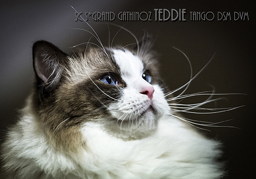 SC S Grand Gathinoz Teddie Tango DSM DVM